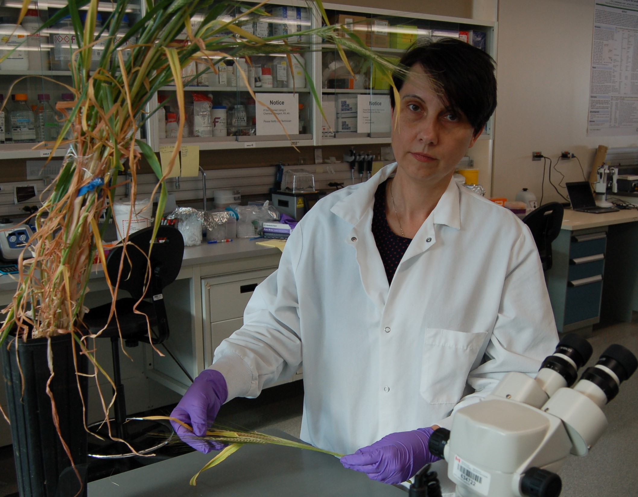 Scientist Ana Badea inspects tall barley plants that sit on a bench in a greenhouse.