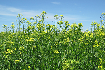 Camelina plants at mid-flowering.