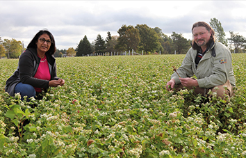Researchers kneeling in a field of buckwheat crops