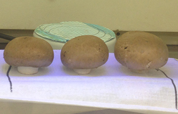 Three brown mushrooms in a row under green tinted UV light